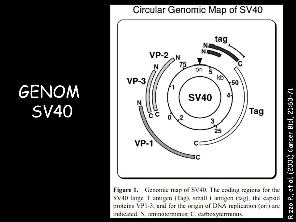 Rizzo P., et al. (2001) Cancer Biol, 21:63-71 GENOM SV40