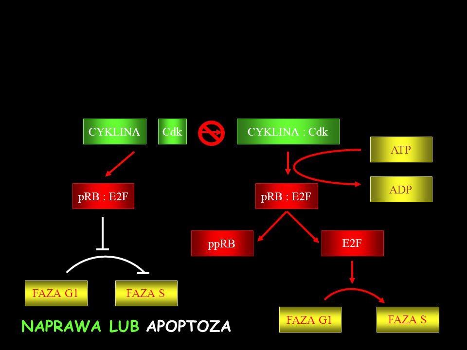 p53 p21 WAF1/CIP CYKLINA : Cdk pRB : E2F ppRB E2F ATP pRB : E2F ADP FAZA G1 FAZA S CYKLINACdk FAZA G1FAZA S NAPRAWA LUB APOPTOZA Uszkodzenie BŁĄD MDM4 MDM2 Stabilizacja p53