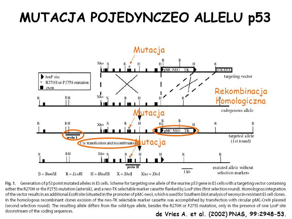 Mutacja Rekombinacja homologiczna MUTACJA POJEDYNCZEO ALLELU p53 de Vries A. et al. (2002) PNAS, 99:2948-53.