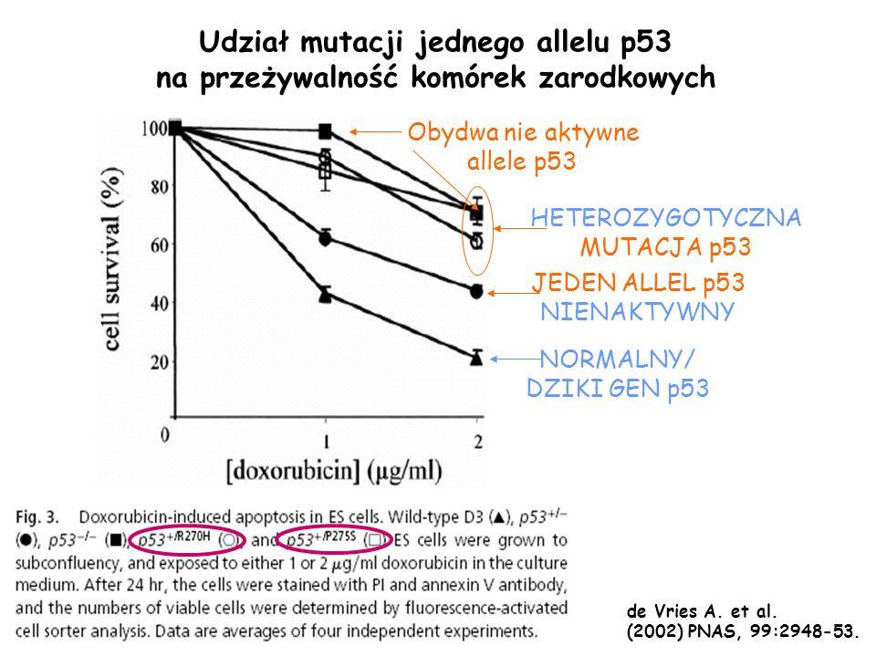 Udział mutacji jednego allelu p53 na przeżywalność komórek zarodkowych NORMALNY/ DZIKI GEN p53 JEDEN ALLEL p53 NIENAKTYWNY HETEROZYGOTYCZNA MUTACJA p5