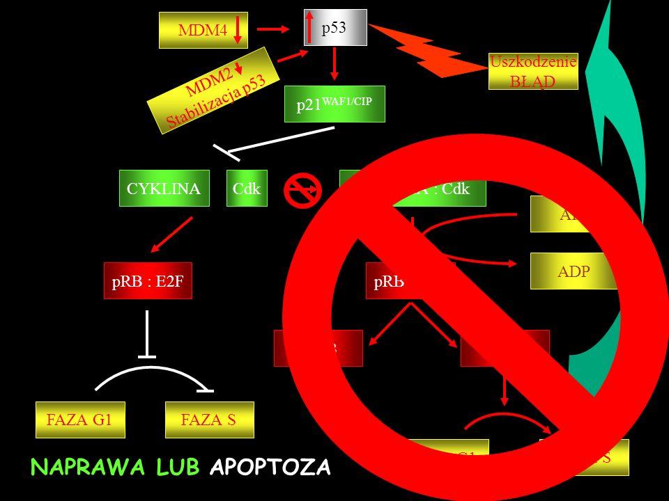 p53 p21 WAF1/CIP CYKLINA : Cdk pRB : E2F ppRB E2F ATP pRB : E2F ADP FAZA G1 FAZA S CYKLINACdk FAZA G1FAZA S NAPRAWA LUB APOPTOZA Uszkodzenie BŁĄD MDM4