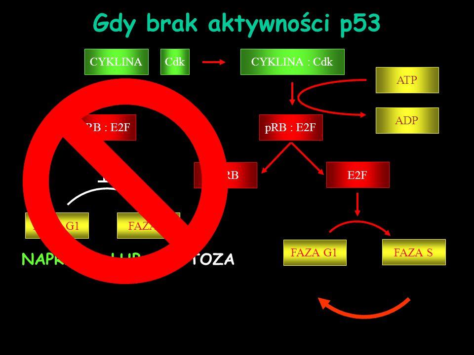 CYKLINA : Cdk pRB : E2F ppRB E2F ATP pRB : E2F ADP FAZA G1 FAZA S CYKLINACdk FAZA G1FAZA S NAPRAWA LUB APOPTOZA Gdy brak aktywności p53
