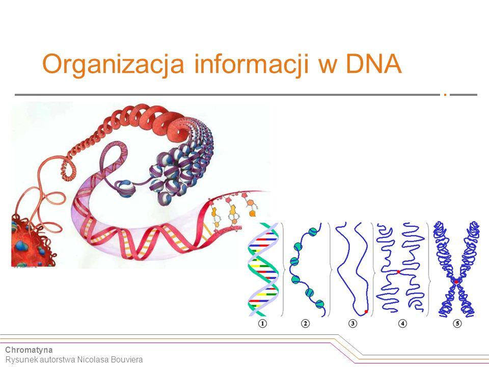 Organizacja informacji w DNA Chromatyna Rysunek autorstwa Nicolasa Bouviera