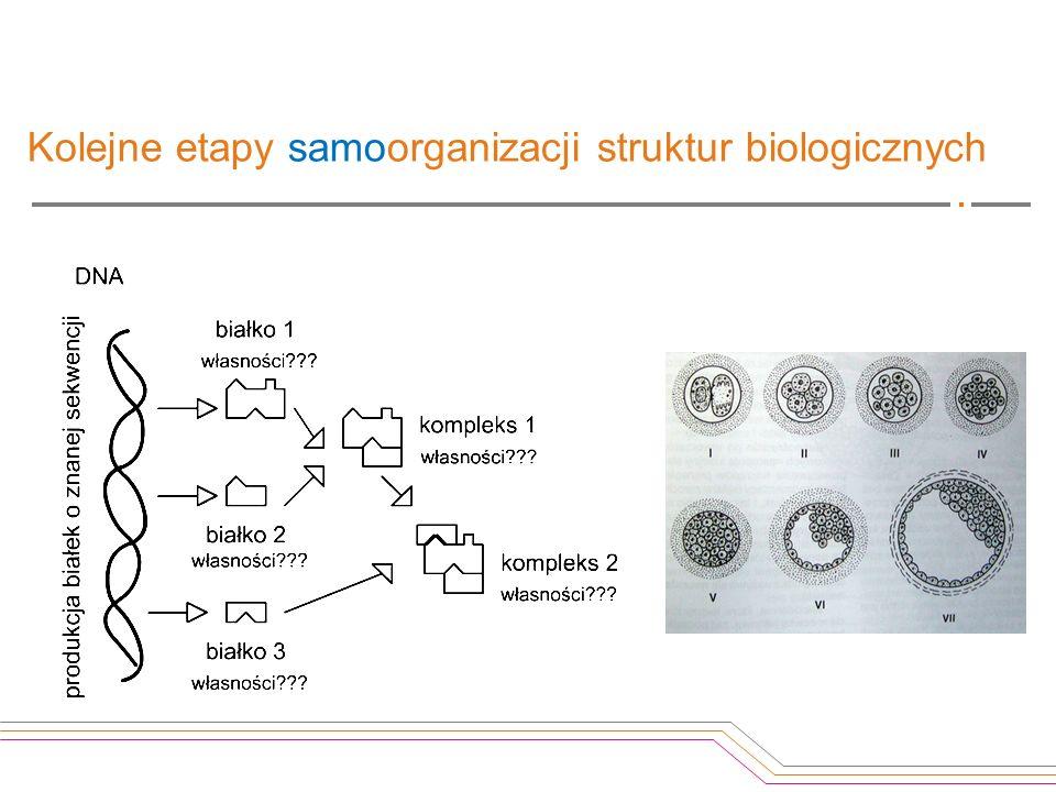 Kolejne etapy samoorganizacji struktur biologicznych