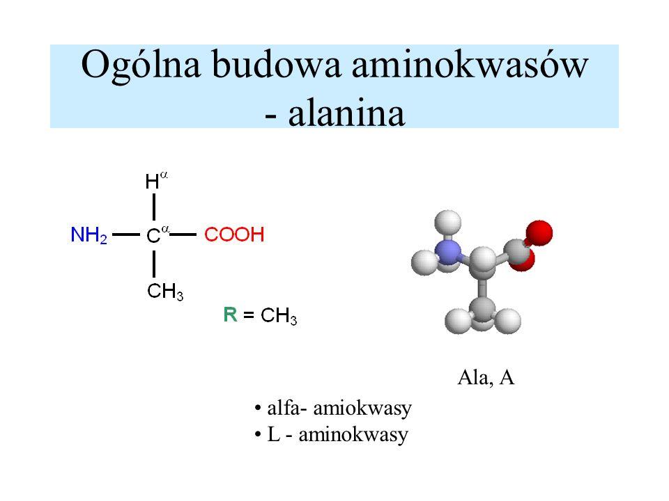 L-aminokwasy - centrum asymetrii