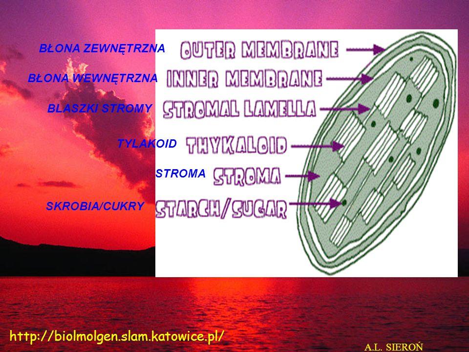 BŁONA ZEWNĘTRZNA BŁONA WEWNĘTRZNA BLASZKI STROMY TYLAKOID STROMA SKROBIA/CUKRY A.L. SIEROŃ http://biolmolgen.slam.katowice.pl/
