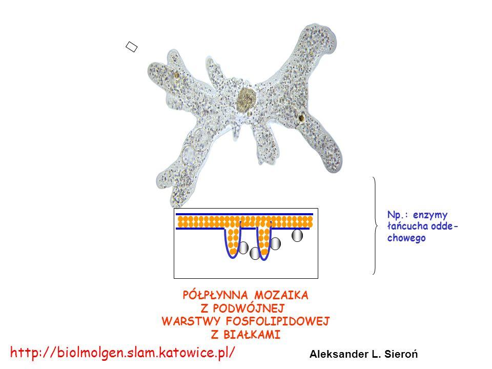 PÓŁPŁYNNA MOZAIKA Z PODWÓJNEJ WARSTWY FOSFOLIPIDOWEJ Z BIAŁKAMI Np.: enzymy łańcucha odde- chowego Aleksander L. Sieroń http://biolmolgen.slam.katowic