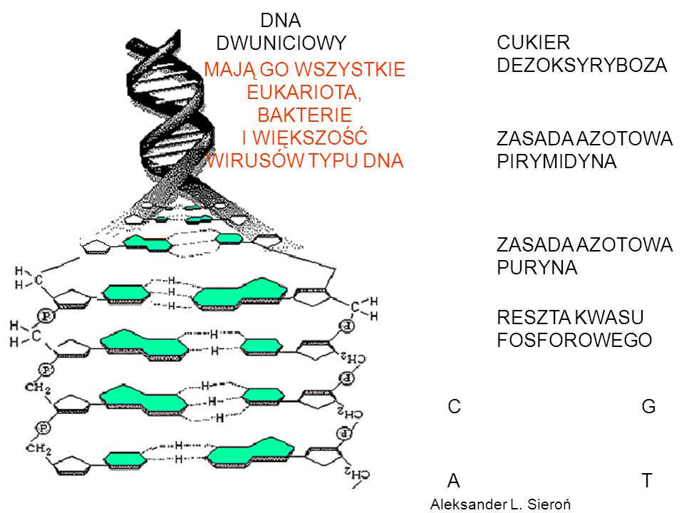 CUKIER DEZOKSYRYBOZA ZASADA AZOTOWA PIRYMIDYNA ZASADA AZOTOWA PURYNA RESZTA KWASU FOSFOROWEGO DNA DWUNICIOWY CG AT MAJĄ GO WSZYSTKIE EUKARIOTA, BAKTER