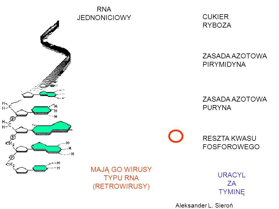 CUKIER RYBOZA ZASADA AZOTOWA PIRYMIDYNA ZASADA AZOTOWA PURYNA RESZTA KWASU FOSFOROWEGO RNA JEDNONICIOWY MAJĄ GO WIRUSY TYPU RNA (RETROWIRUSY) URACYL Z