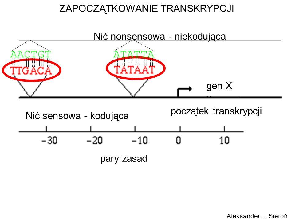 ZAPOCZĄTKOWANIE TRANSKRYPCJI gen X początek transkrypcji pary zasad Aleksander L. Sieroń Nić sensowa - kodująca Nić nonsensowa - niekodująca AACTGTATA