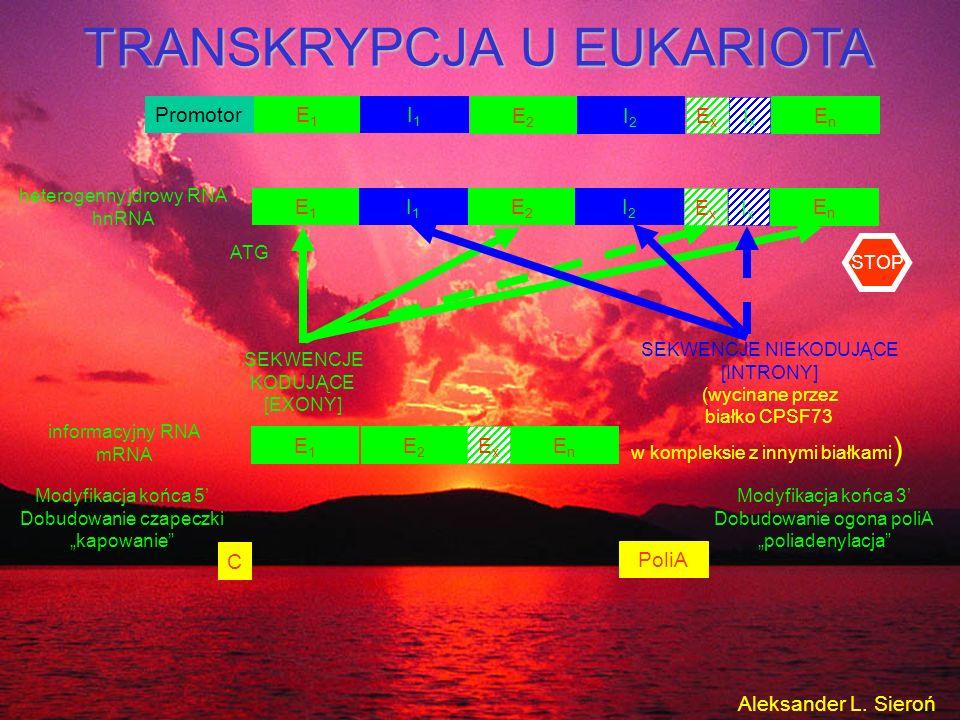 Promotor E1E1 I1I1 E2E2 I2I2 EnEn ExEx IxIx TRANSKRYPCJA U EUKARIOTA ATG SEKWENCJE KODUJĄCE [EXONY] SEKWENCJE NIEKODUJĄCE [INTRONY] (wycinane przez bi
