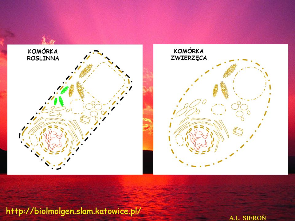 KOMÓRKA ZWIERZĘCA Jądro komórkowe (Nucleus) Szorstka siateczka wewnątrz- plazmatyczna (Rough endoplasmic reticulum Gładka siateczka wewnątrz- plazmatyczna (Smooth endoplasmic reticulum) Jąderko (Nucleolus) Aparat Golgiego (Golgi Aparatus) Pęcherzyk wydzielniczy po uwolnieniu zawartości (secretory vessicle after releasing its content) A.L.