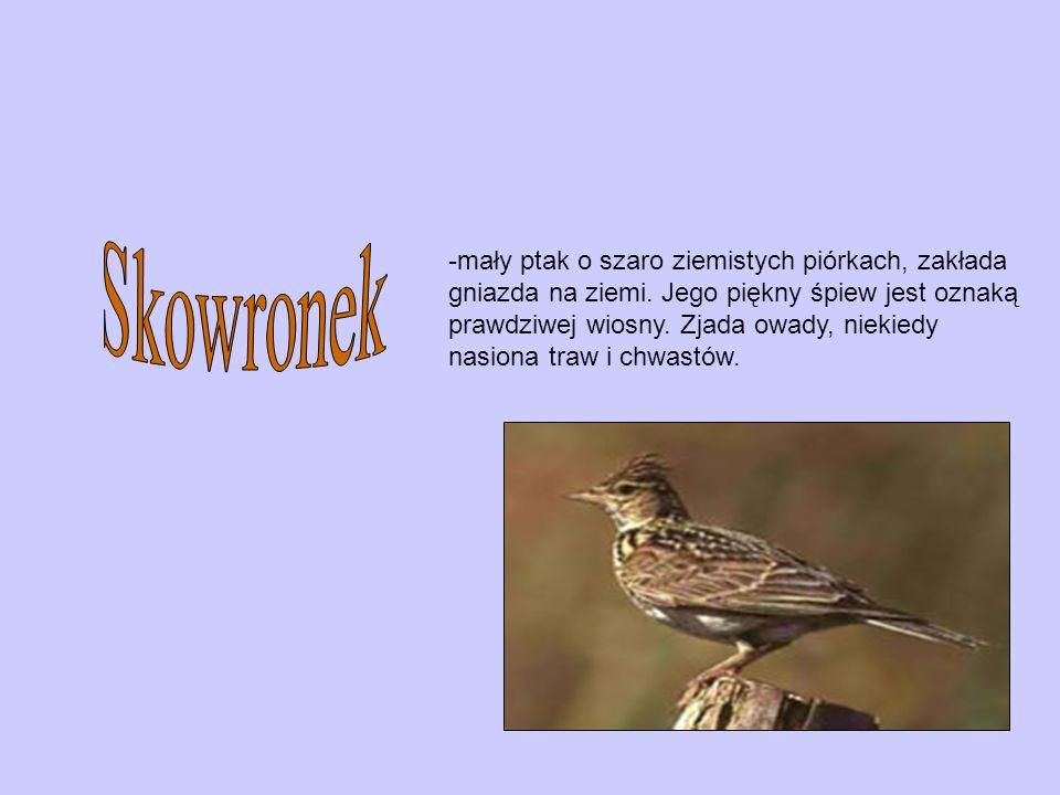 -duży ptak brodzący o biało – czarnym upierzeniu. Jest mięsożerny, je owady a także myszy, jaszczurki i węże.