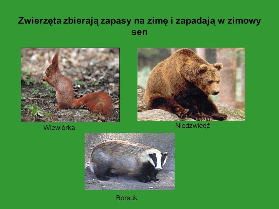 Zwierzęta zbierają zapasy na zimę i zapadają w zimowy sen Wiewiórka Niedźwiedź Borsuk