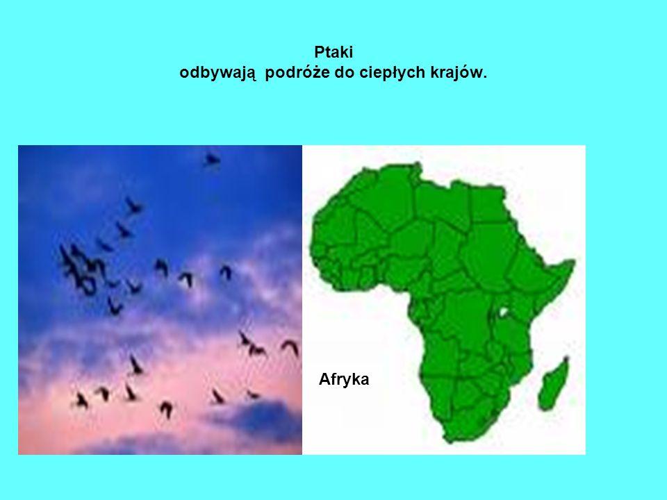 Ptaki odbywają podróże do ciepłych krajów. Afryka