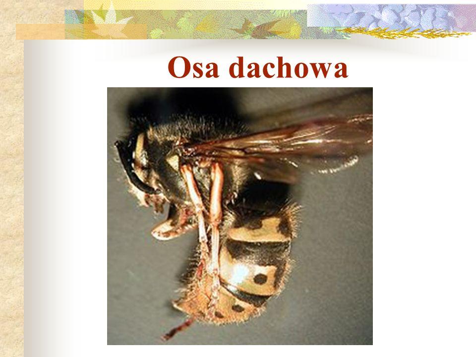 Osa dachowa