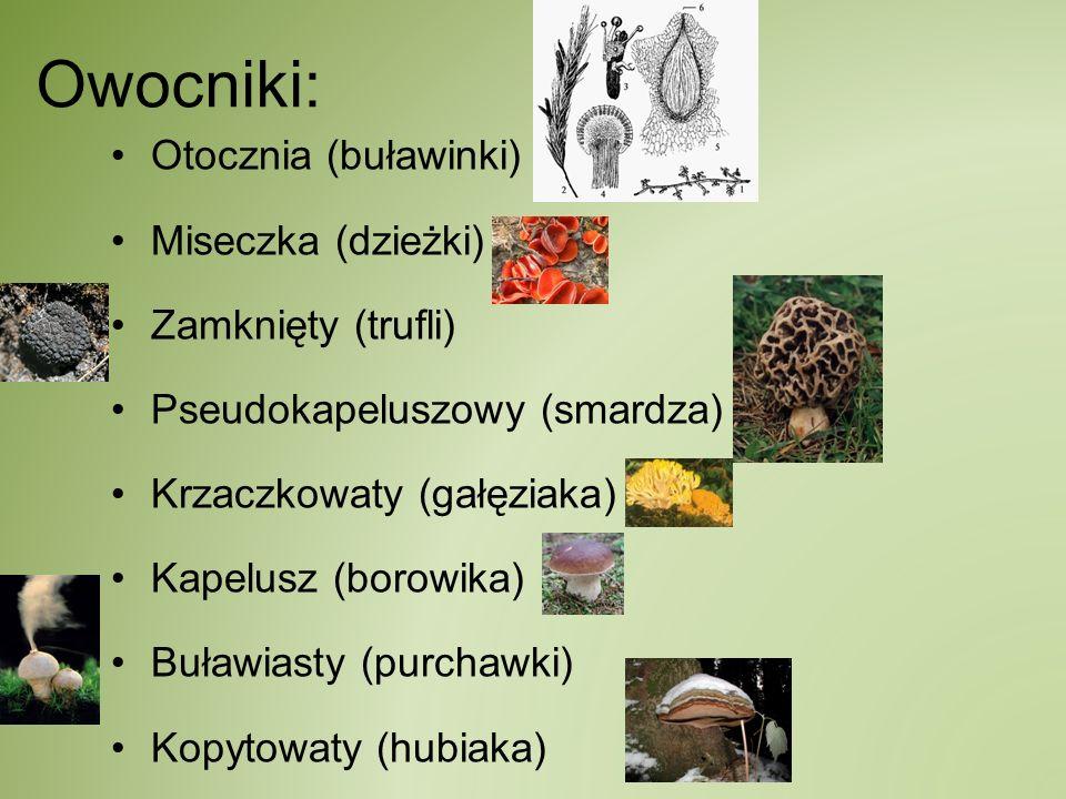 Owocniki: Otocznia (buławinki) Miseczka (dzieżki) Zamknięty (trufli) Pseudokapeluszowy (smardza) Krzaczkowaty (gałęziaka) Kapelusz (borowika) Buławias