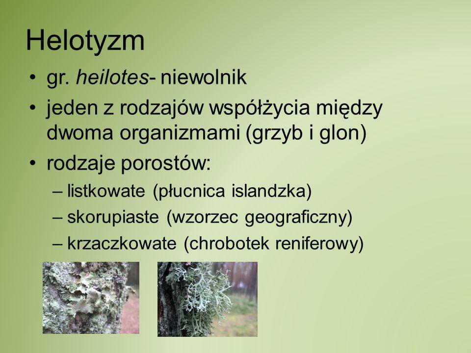Helotyzm gr. heilotes- niewolnik jeden z rodzajów współżycia między dwoma organizmami (grzyb i glon) rodzaje porostów: –listkowate (płucnica islandzka