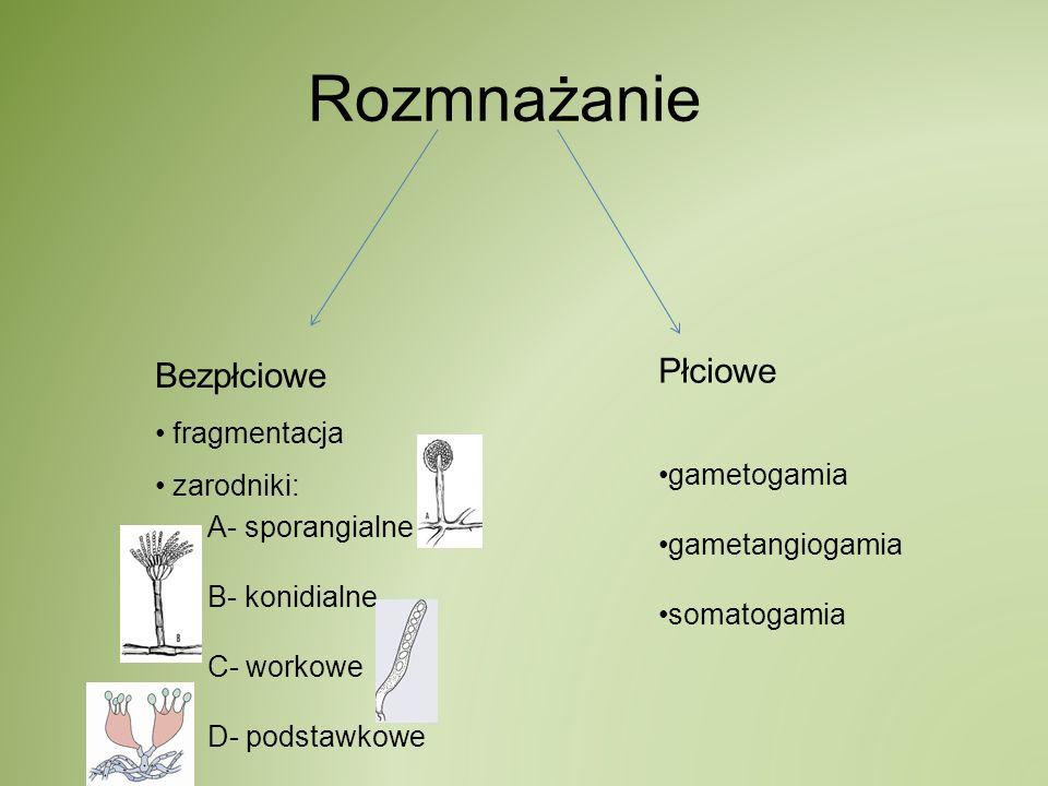 Rozmnażanie Bezpłciowe fragmentacja zarodniki: A- sporangialne B- konidialne C- workowe D- podstawkowe Płciowe gametogamia gametangiogamia somatogamia