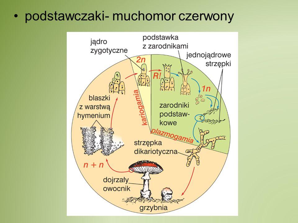 podstawczaki- muchomor czerwony