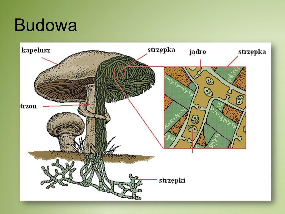 Cykle rozwojowe grzybów skoczki- Synchytrium