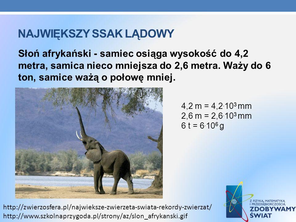 NAJWIĘKSZY SSAK LĄDOWY Słoń afrykański - samiec osiąga wysokość do 4,2 metra, samica nieco mniejsza do 2,6 metra. Waży do 6 ton, samice ważą o połowę