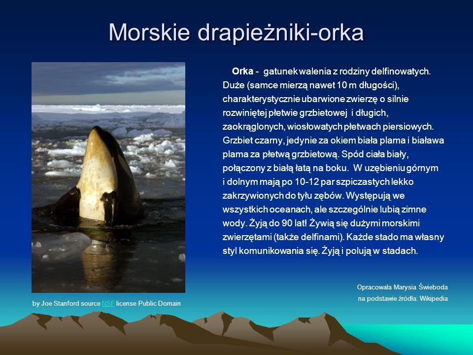 Morskie drapieżniki-orka Orka - gatunek walenia z rodziny delfinowatych. Duże (samce mierzą nawet 10 m długości), charakterystycznie ubarwione zwierzę
