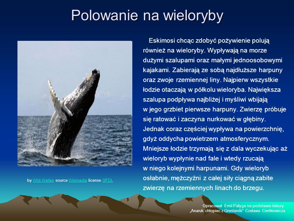 Polowanie na wieloryby Eskimosi chcąc zdobyć pożywienie polują również na wieloryby. Wypływają na morze dużymi szalupami oraz małymi jednoosobowymi ka