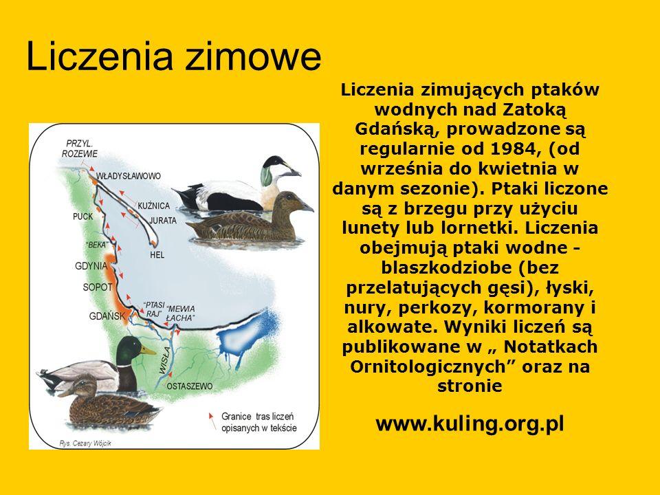 Liczenia zimowe Liczenia zimujących ptaków wodnych nad Zatoką Gdańską, prowadzone są regularnie od 1984, (od września do kwietnia w danym sezonie). Pt