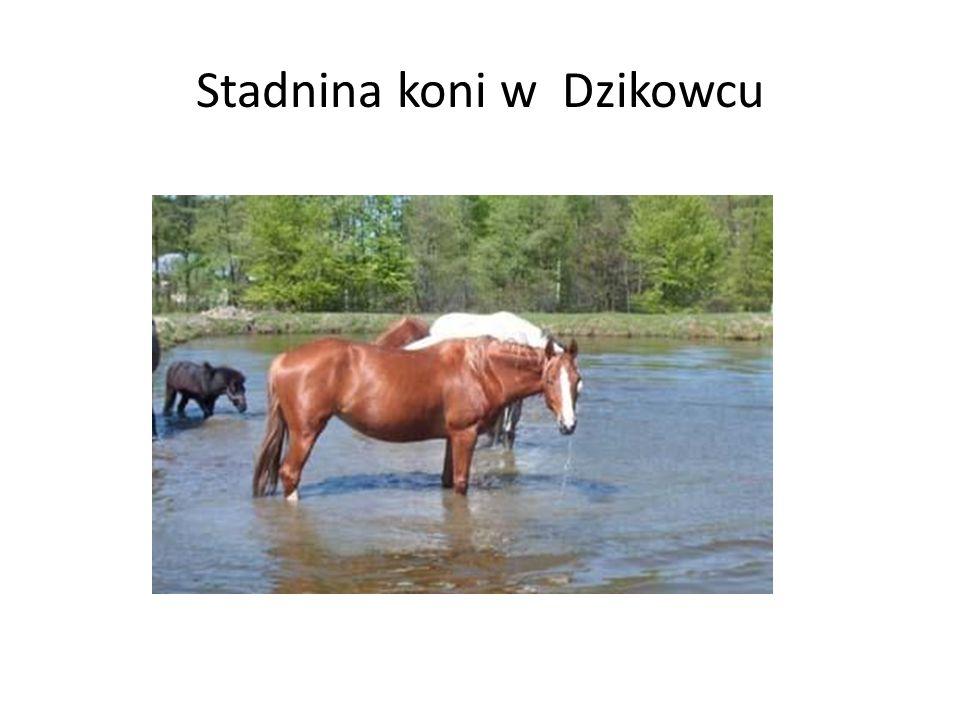 Stadnina koni w Dzikowcu