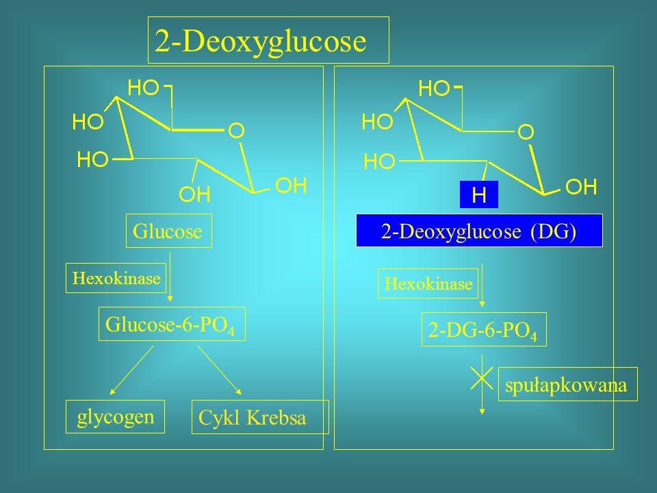 Glucose Hexokinase Glucose-6-PO 4 2-DG-6-PO 4 Cykl Krebsa spułapkowana 2-Deoxyglucose H 2-Deoxyglucose (DG) glycogen