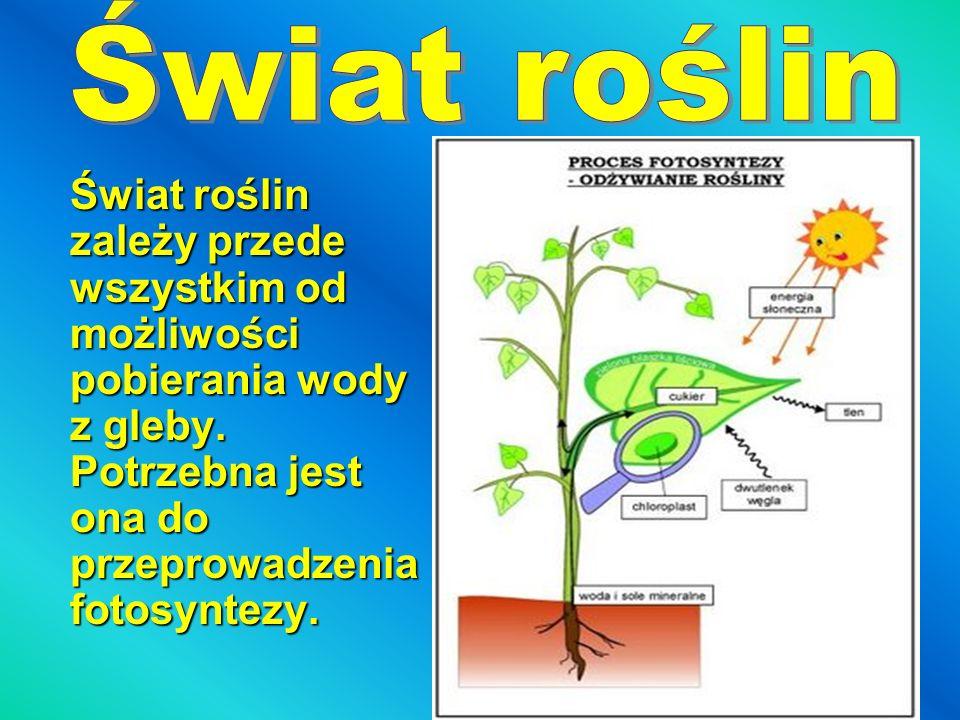 Świat roślin zależy przede wszystkim od możliwości pobierania wody z gleby. Potrzebna jest ona do przeprowadzenia fotosyntezy.