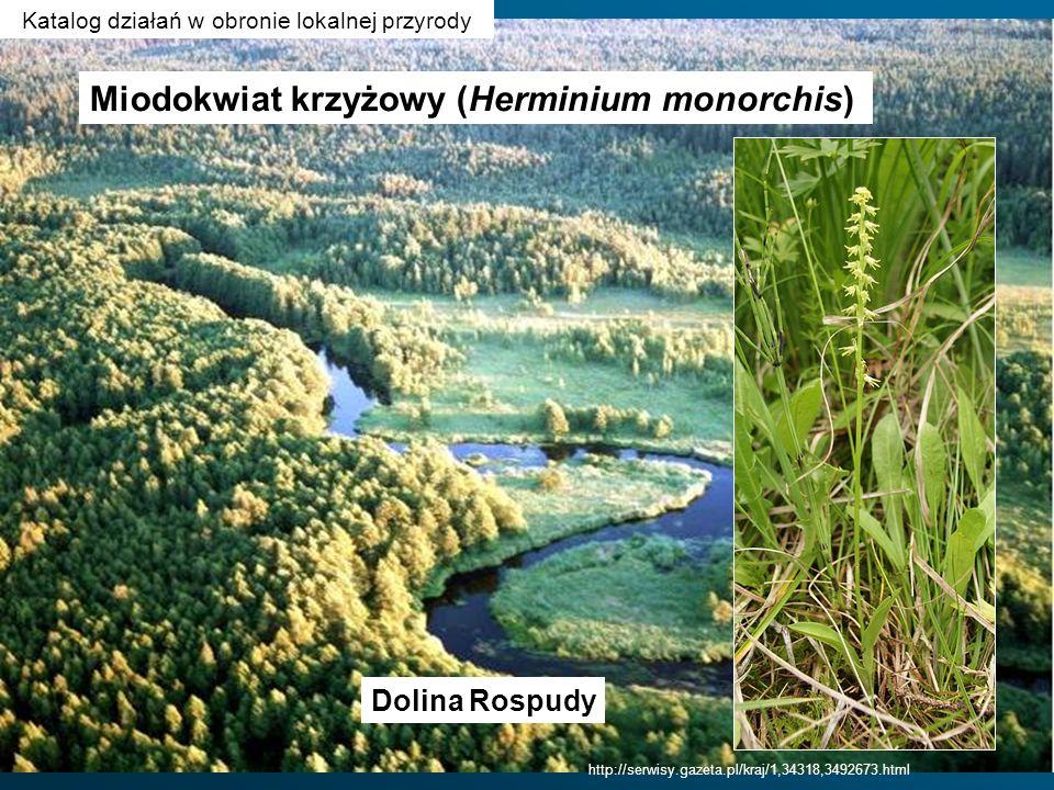 http://serwisy.gazeta.pl/kraj/1,34318,3492673.html Dolina Rospudy Miodokwiat krzyżowy (Herminium monorchis) Katalog działań w obronie lokalnej przyrod