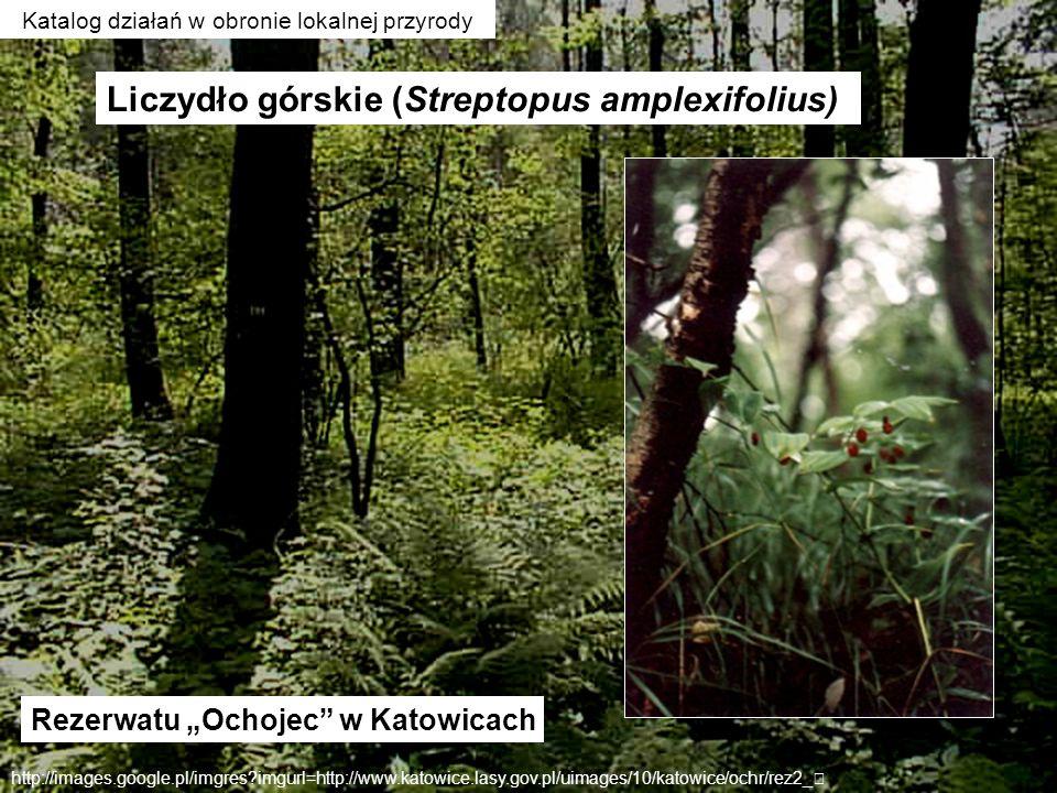 Rezerwatu Ochojec w Katowicach http://images.google.pl/imgres?imgurl=http://www.katowice.lasy.gov.pl/uimages/10/katowice/ochr/rez2_ Liczydło górskie (