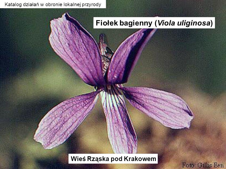 Fiołek bagienny (Viola uliginosa) Wieś Rząska pod Krakowem Katalog działań w obronie lokalnej przyrody