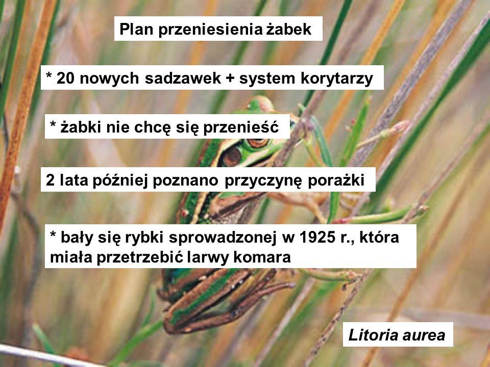 Litoria aurea Plan przeniesienia żabek * 20 nowych sadzawek + system korytarzy * żabki nie chcę się przenieść 2 lata później poznano przyczynę porażki