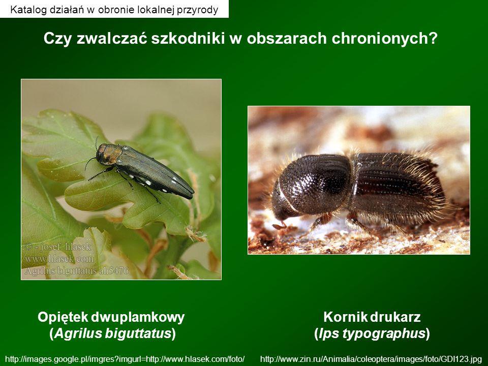 Opiętek dwuplamkowy (Agrilus biguttatus) http://images.google.pl/imgres?imgurl=http://www.hlasek.com/foto/ Kornik drukarz (Ips typographus) http://www
