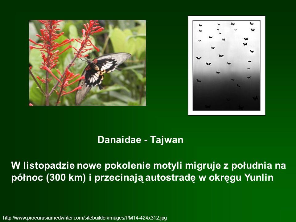 http://www.proeurasiamedwriter.com/sitebuilder/images/PM14-424x312.jpg Danaidae - Tajwan W listopadzie nowe pokolenie motyli migruje z południa na pół