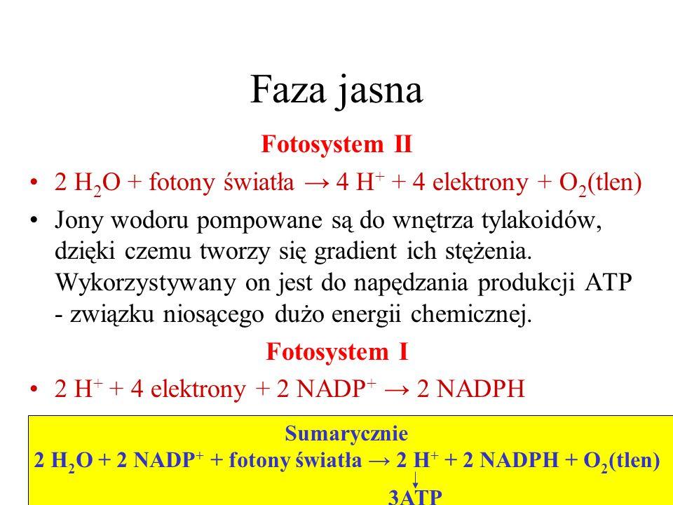 Faza jasna Fotosystem II 2 H 2 O + fotony światła 4 H + + 4 elektrony + O 2 (tlen) Jony wodoru pompowane są do wnętrza tylakoidów, dzięki czemu tworzy