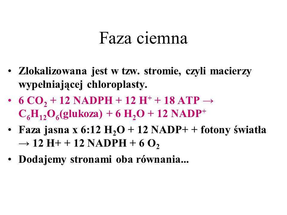 Faza ciemna Zlokalizowana jest w tzw. stromie, czyli macierzy wypełniającej chloroplasty. 6 CO 2 + 12 NADPH + 12 H + + 18 ATP C 6 H 12 O 6 (glukoza) +