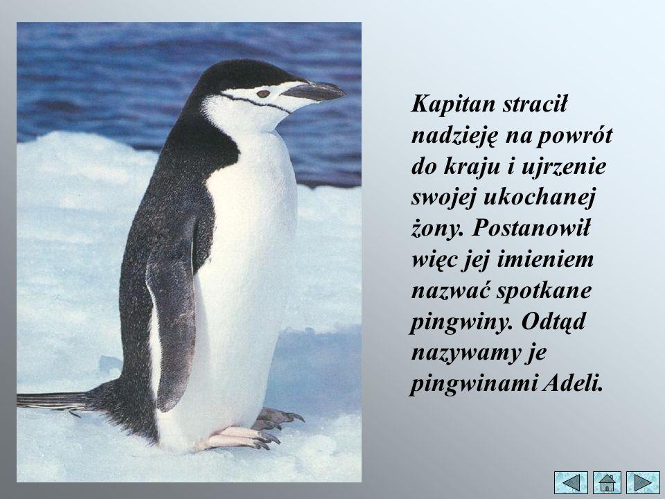 Dawno temu francuski żeglarz kapitan Dumont dUrville dotarł do brzegów Antarktydy i jako pierwszy zobaczył biało-czarne ptaki.