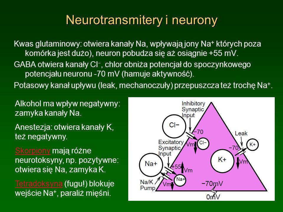 Neurotransmitery i neurony Kwas glutaminowy: otwiera kanały Na, wpływają jony Na + których poza komórka jest dużo), neuron pobudza się aż osiągnie +55