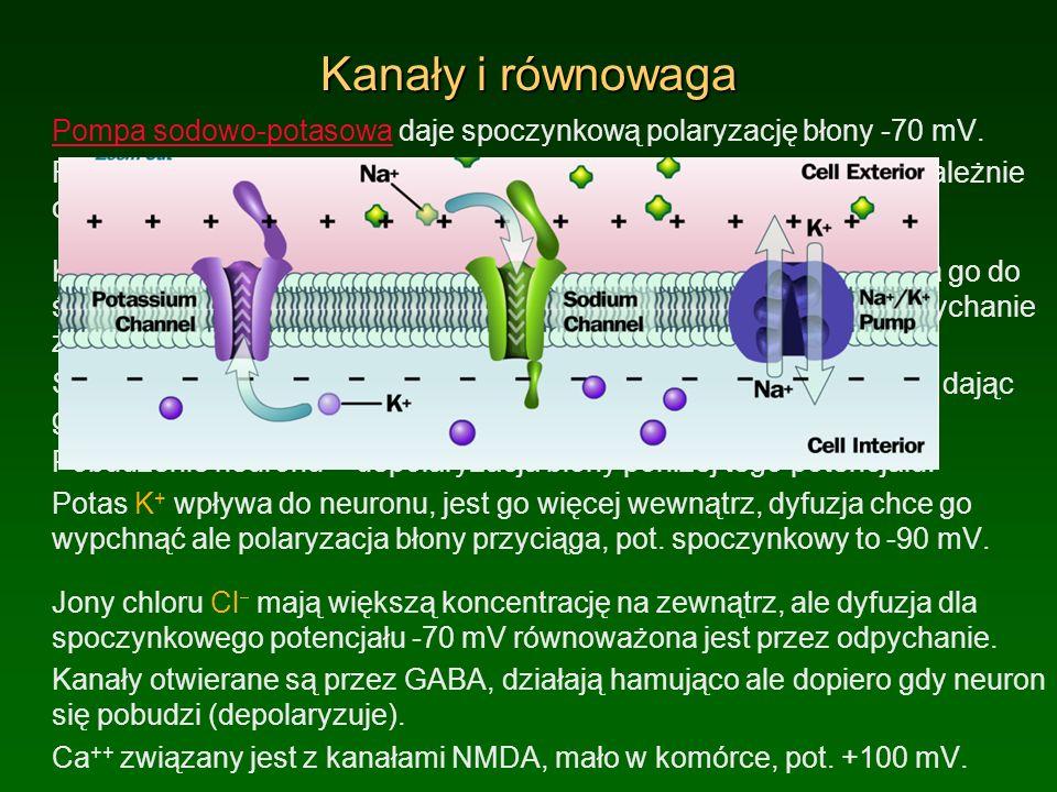 Neurotransmitery i neurony Kwas glutaminowy: otwiera kanały Na, wpływają jony Na + których poza komórka jest dużo), neuron pobudza się aż osiągnie +55 mV.