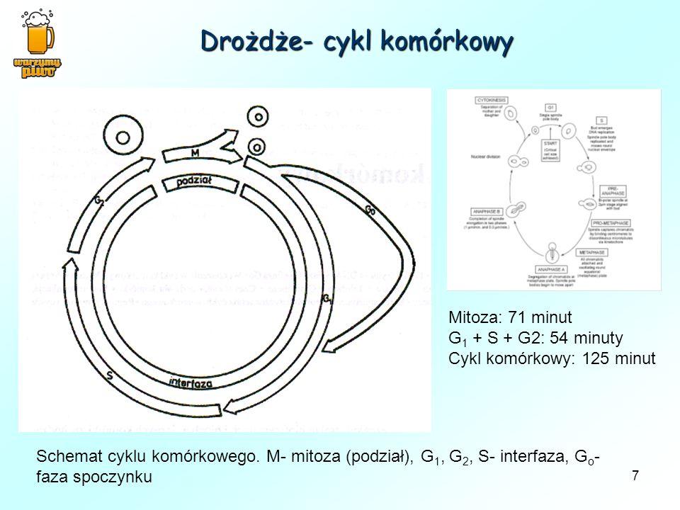 7 Drożdże- cykl komórkowy Schemat cyklu komórkowego. M- mitoza (podział), G 1, G 2, S- interfaza, G o - faza spoczynku Mitoza: 71 minut G 1 + S + G2: