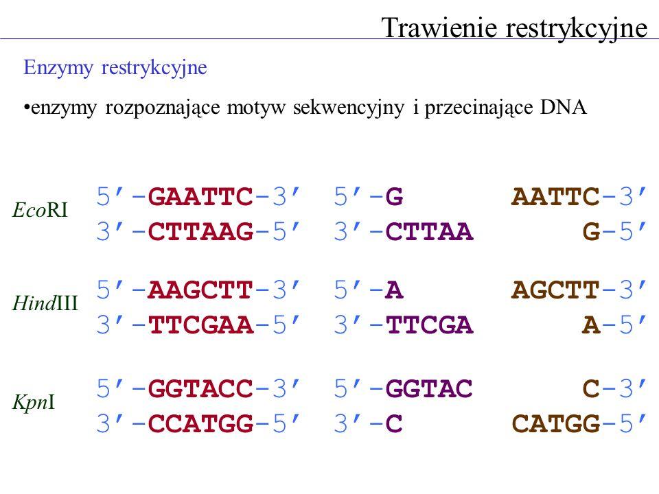 Enzymy restrykcyjne enzymy rozpoznające motyw sekwencyjny i przecinające DNA Trawienie restrykcyjne 5-GAATTC-3 3-CTTAAG-5 EcoRI 5-G 3-CTTAA AATTC-3 G-