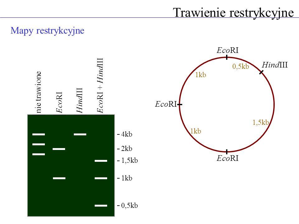 Mapy restrykcyjne Trawienie restrykcyjne 4kb 1kb 0,5kb nie trawione EcoRIHindIIIEcoRI + HindIII EcoRI HindIII 2kb 1,5kb 0,5kb 1,5kb 1kb