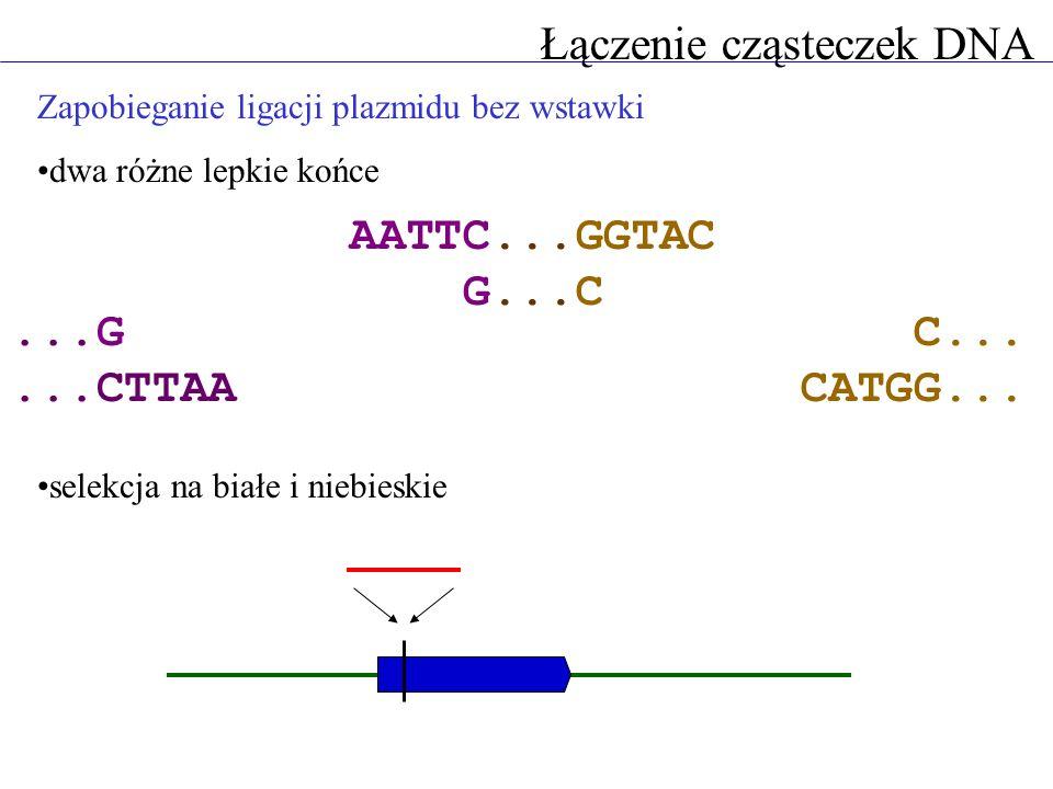 Zapobieganie ligacji plazmidu bez wstawki dwa różne lepkie końce selekcja na białe i niebieskie Łączenie cząsteczek DNA...G...CTTAA AATTC...GGTAC G...