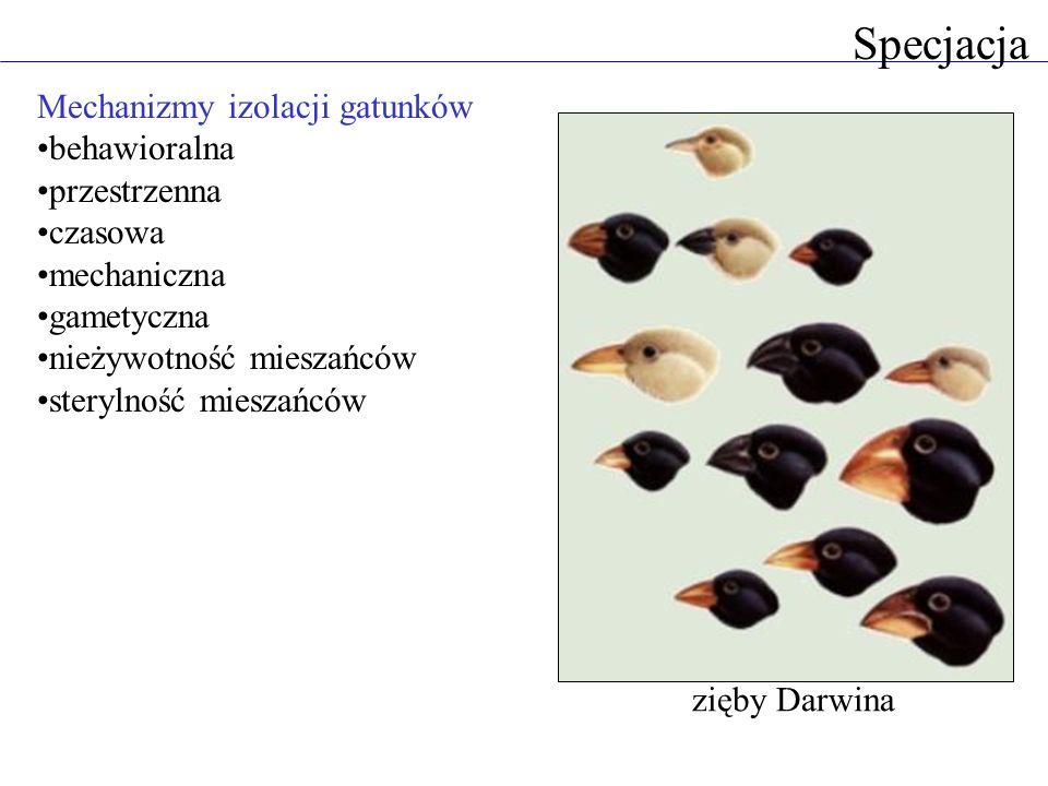 Mechanizmy izolacji gatunków behawioralna przestrzenna czasowa mechaniczna gametyczna nieżywotność mieszańców sterylność mieszańców Specjacja zięby Da