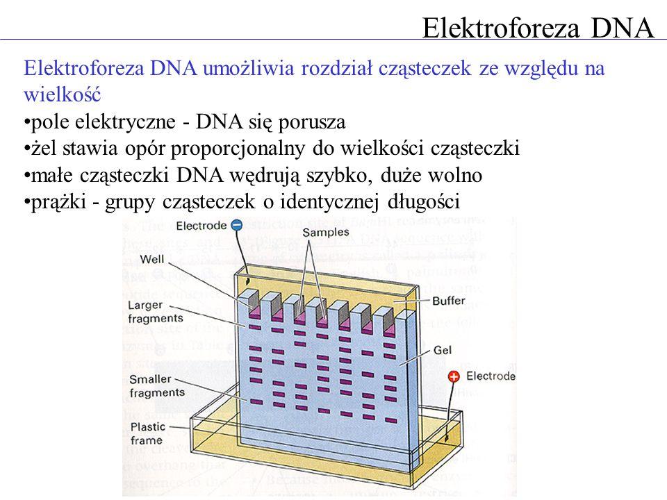 Elektroforeza DNA Elektroforeza DNA umożliwia rozdział cząsteczek ze względu na wielkość pole elektryczne - DNA się porusza żel stawia opór proporcjon