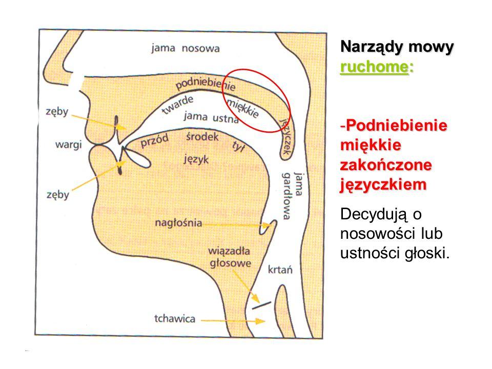 Narządy mowy ruchome: -Podniebienie miękkie zakończone języczkiem Decydują o nosowości lub ustności głoski.